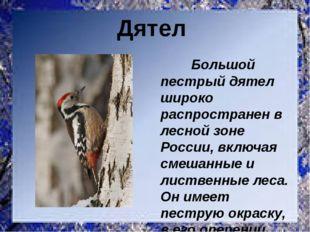 Большой пестрый дятел широко распространен в лесной зоне России, включая сме