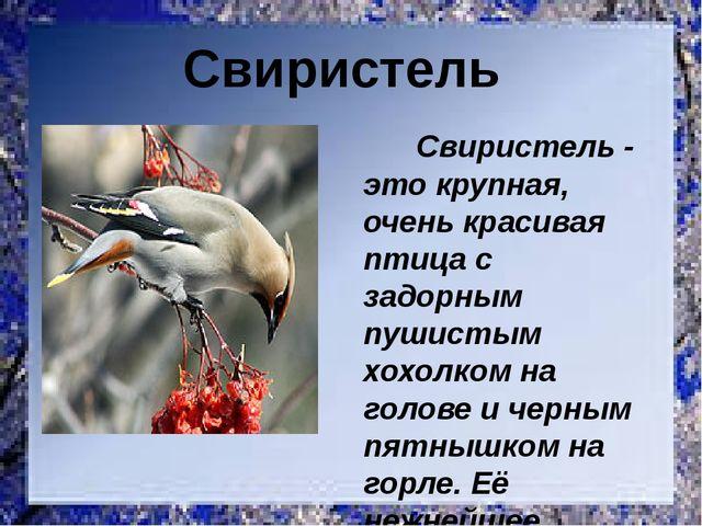 Свиристель - это крупная, очень красивая птица с задорным пушистым хохолком...