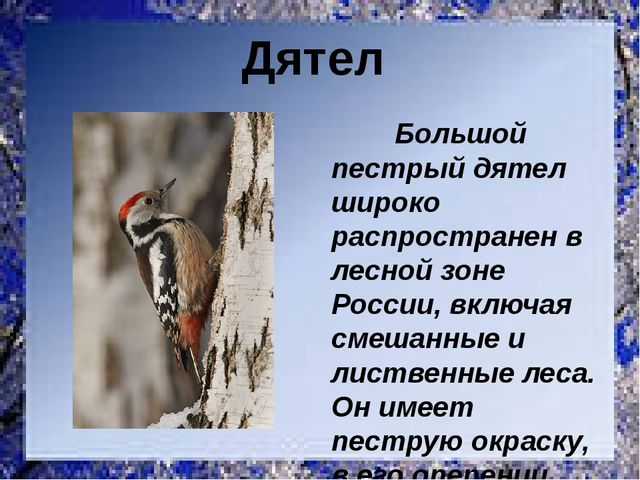 Большой пестрый дятел широко распространен в лесной зоне России, включая сме...