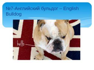 №7-Английский бульдог – English Bulldog