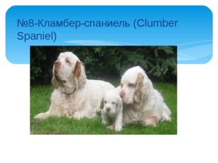 №8-Кламбер-спаниель (Clumber Spaniel)