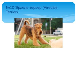№10-Эрдель-терьер (Airedale Terrier).
