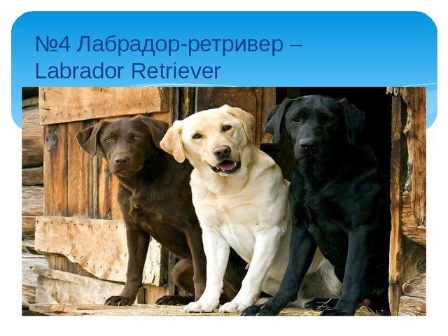 №4 Лабрадор-ретривер – Labrador Retriever