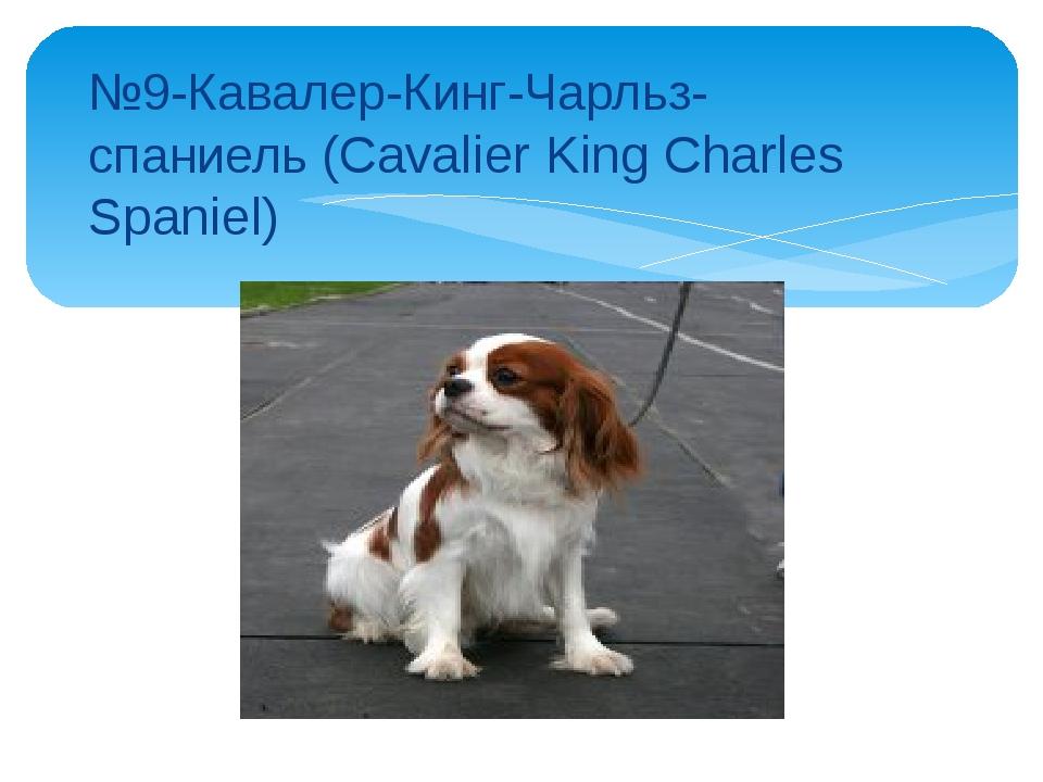 №9-Кавалер-Кинг-Чарльз-спаниель (Cavalier King Charles Spaniel)