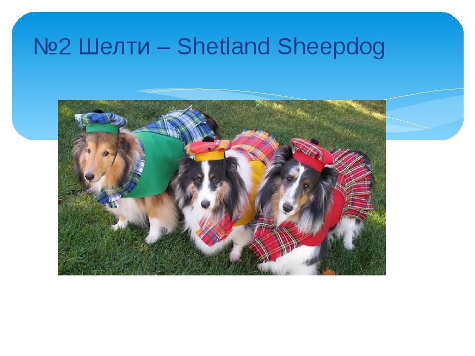 №2 Шелти – Shetland Sheepdog