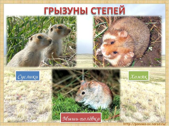 Хомяк Мышь-полёвка Суслики
