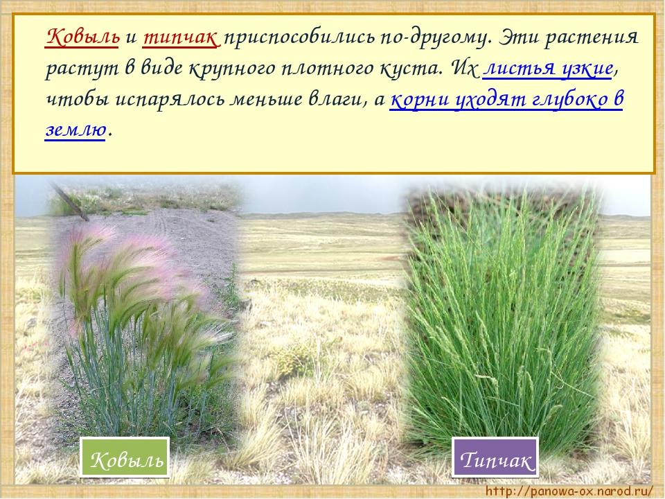 Ковыль и типчак приспособились по-другому. Эти растения растут в виде крупно...