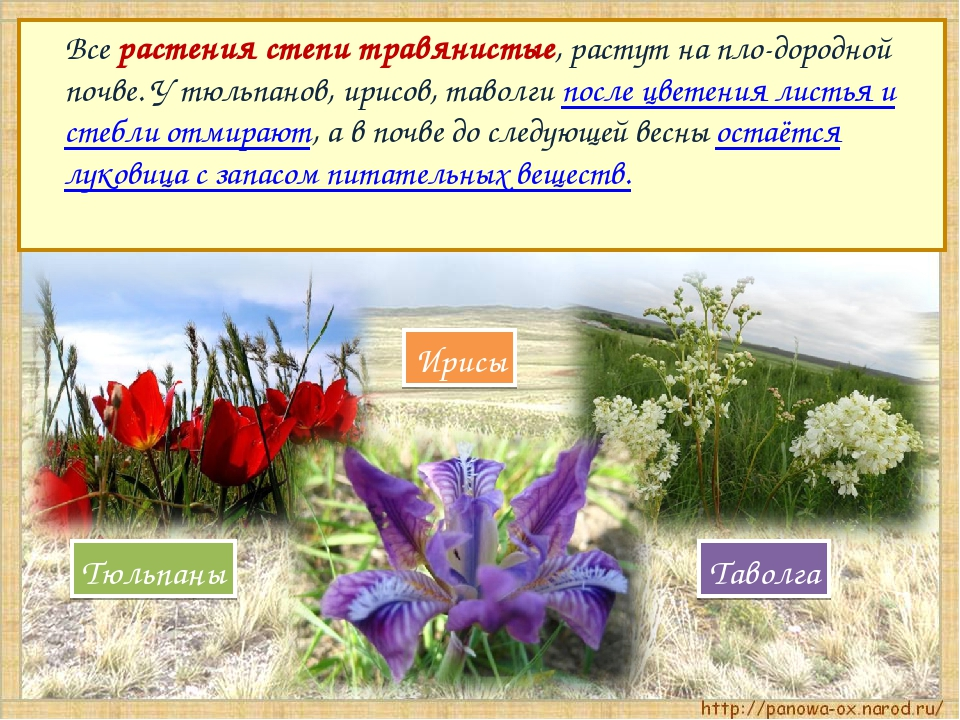 Все растения степи травянистые, растут на пло-дородной почве. У тюльпанов, и...