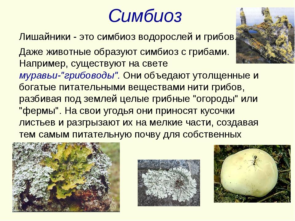 Симбиоз Лишайники - это симбиоз водорослей и грибов. Даже животные образуют...