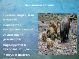 Детеныши кабана В конце марта, или в апреле появляется потомство, у одной сам