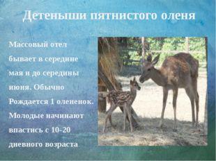 Детеныши пятнистого оленя Массовый отел бывает в середине мая и до середины и