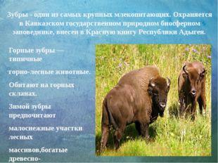 Зубры - одни из самых крупных млекопитающих. Охраняется в Кавказском государс