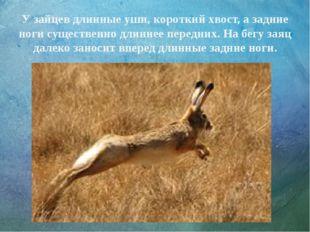 У зайцев длинные уши, короткий хвост, а задние ноги существенно длиннее перед