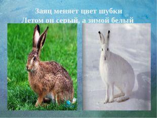 Заяц меняет цвет шубки Летом он серый, а зимой белый