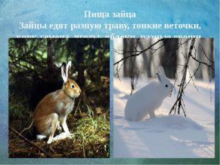 Пища зайца Зайцы едят разную траву, тонкие веточки, кору, семена, ягоды, ябло