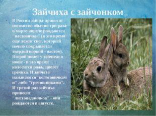 Зайчиха с зайчонком В России зайцы-приносят потомство обычно три раза: в март