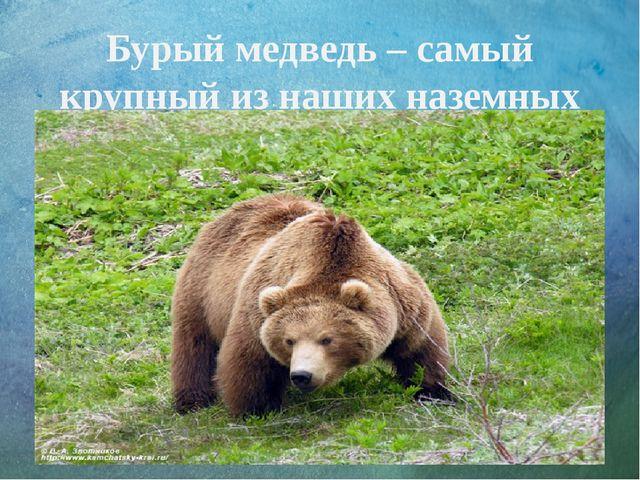 Бурый медведь – самый крупный из наших наземных хищников