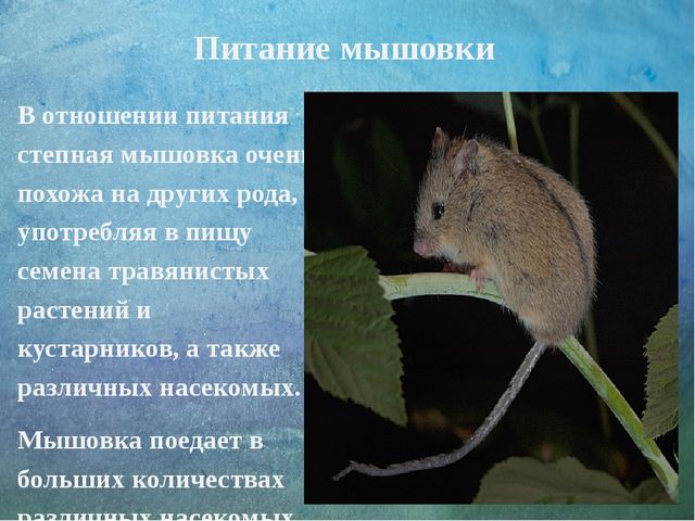 Питание мышовки В отношении питания степная мышовка очень похожа на других р...