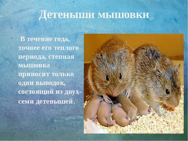 Детеныши мышовки В течение года, точнее его теплого периода, степная мышовка...