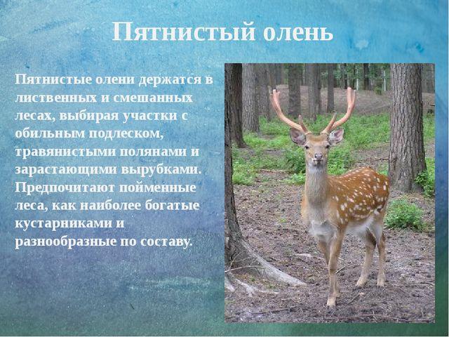 Пятнистый олень Пятнистые олени держатся в лиственных и смешанных лесах, выби...