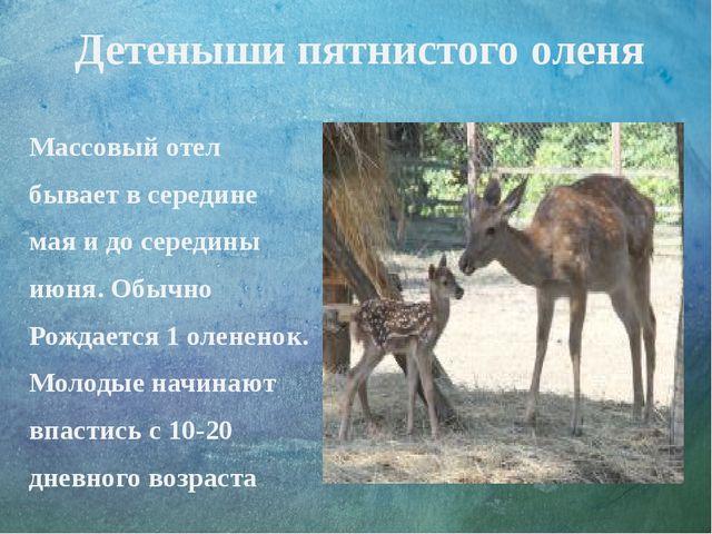 Детеныши пятнистого оленя Массовый отел бывает в середине мая и до середины и...