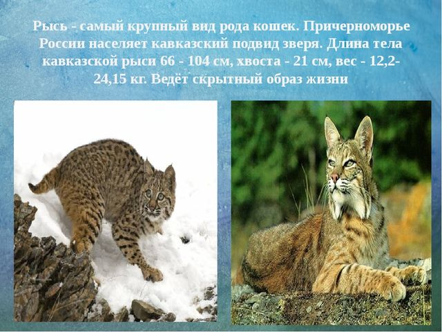 Рысь - самый крупный вид рода кошек. Причерноморье России населяет кавказский...