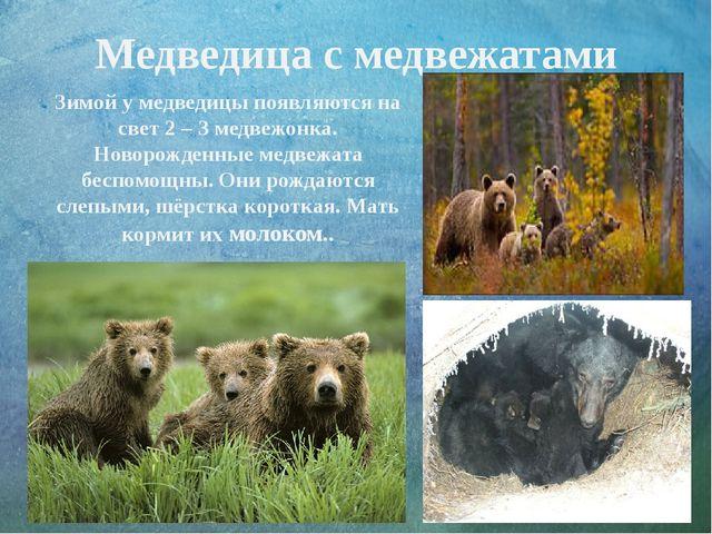 Медведица с медвежатами Зимой у медведицы появляются на свет 2 – 3 медвежонка...