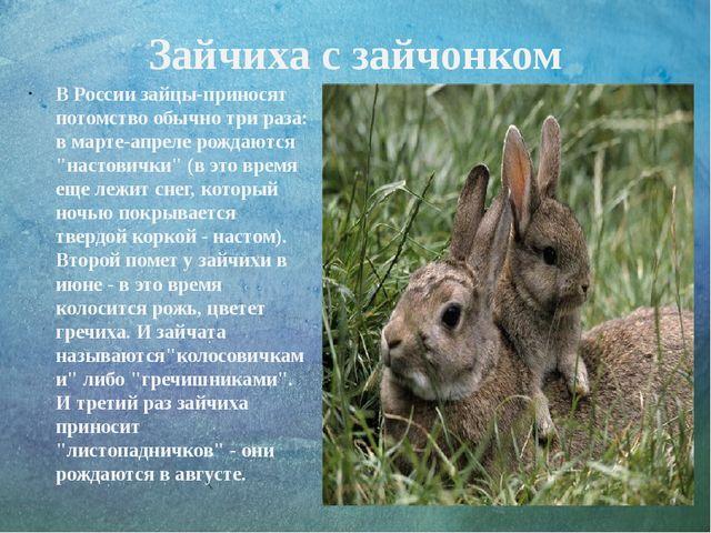 Зайчиха с зайчонком В России зайцы-приносят потомство обычно три раза: в март...