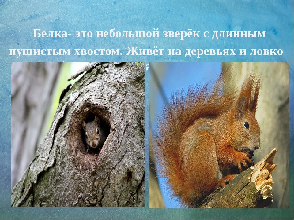 Белка- это небольшой зверёк с длинным пушистым хвостом. Живёт на деревьях и...