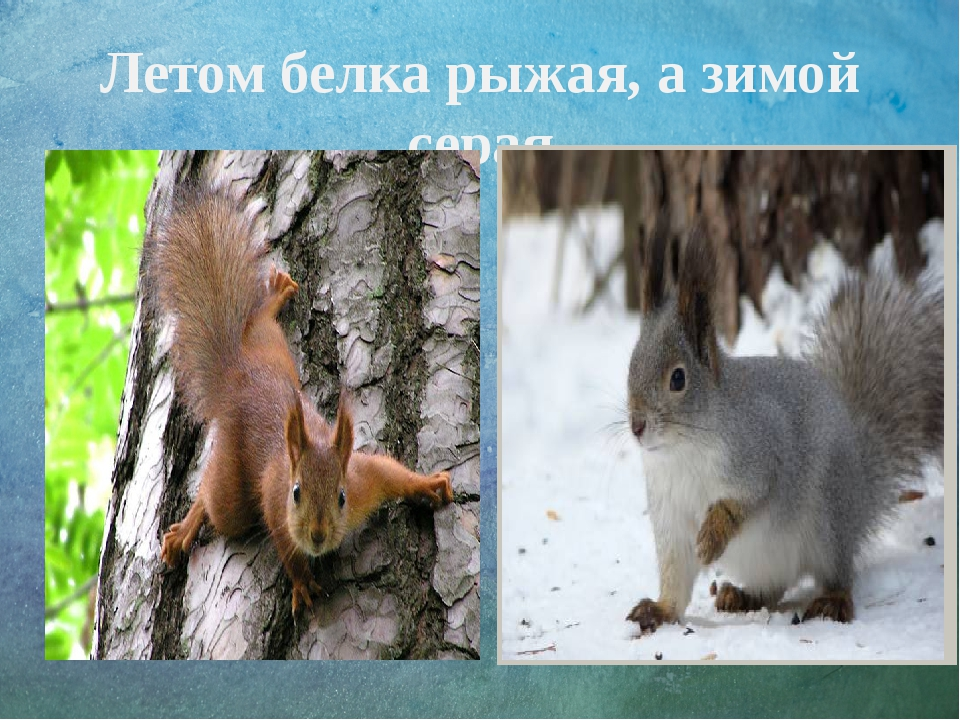 Летом белка рыжая, а зимой серая