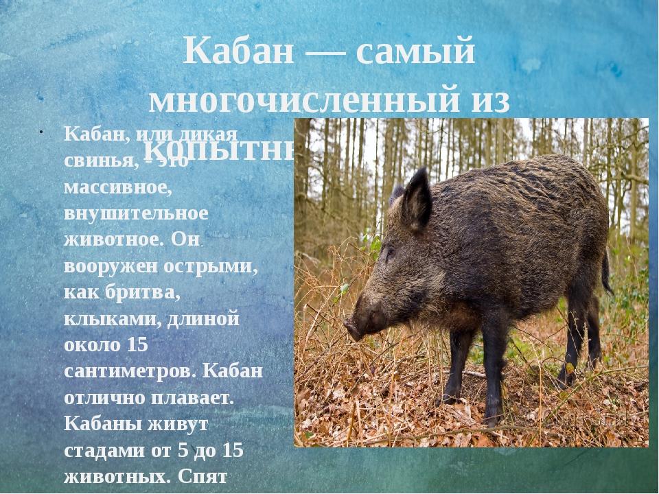 Кабан— самый многочисленный из копытныхКавказа. Кабан, или дикая свинья, -...