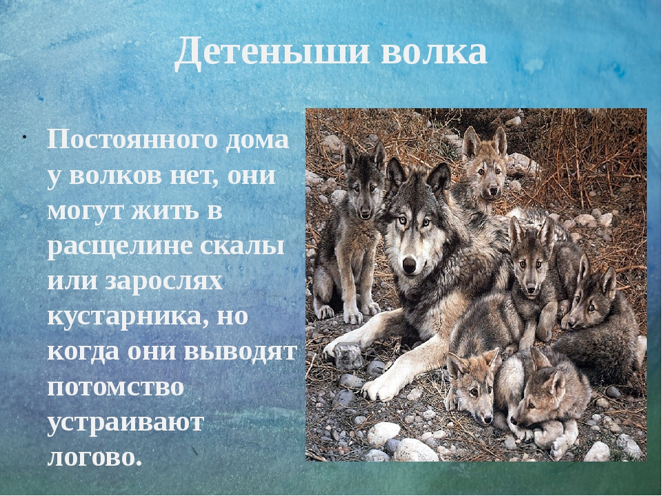 Детеныши волка Постоянного дома у волков нет, они могут жить в расщелине скал...
