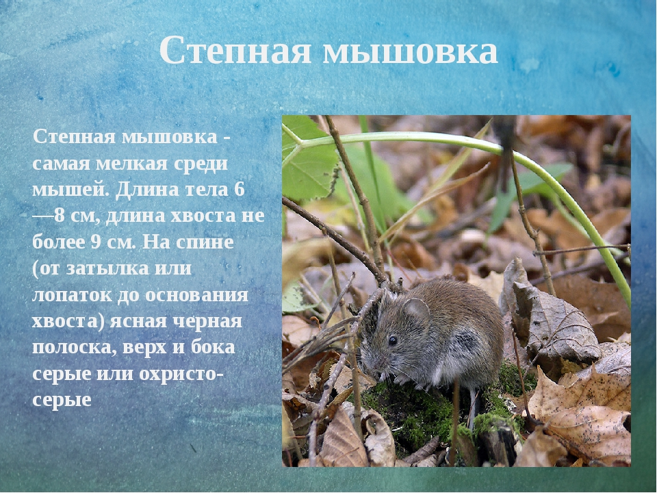Степная мышовка Степная мышовка - самая мелкая среди мышей. Длина тела 6—8 см...