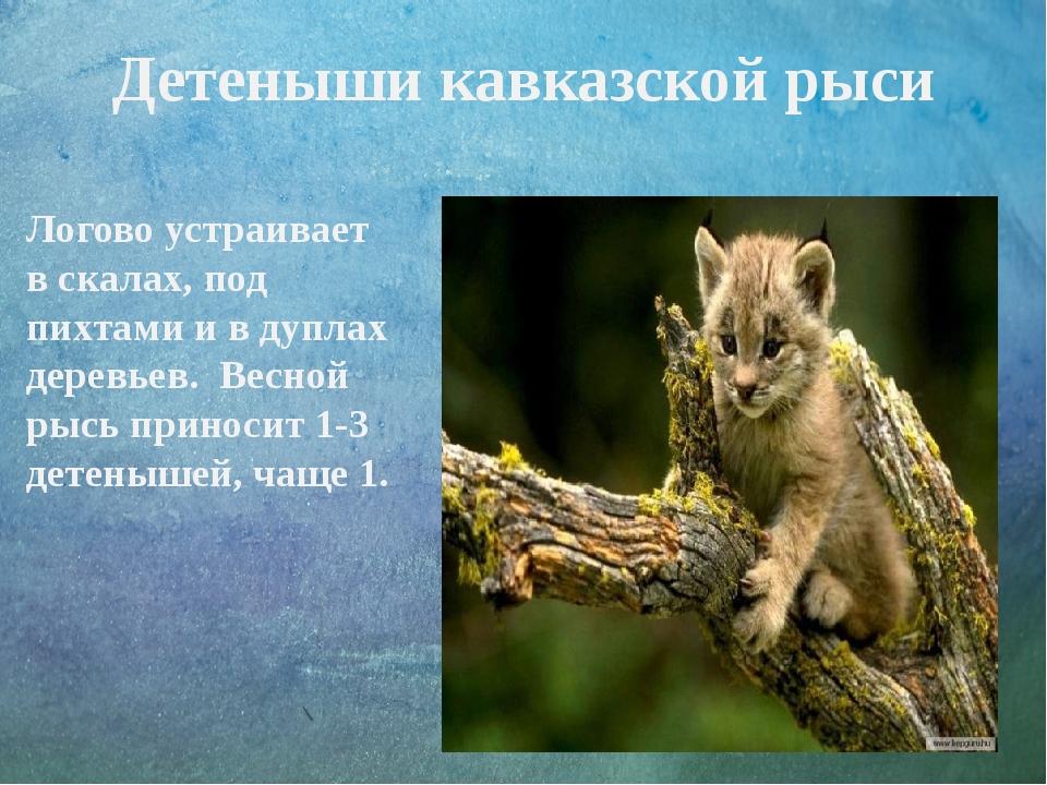 Детеныши кавказской рыси Логово устраивает в скалах, под пихтами и в дуплах д...