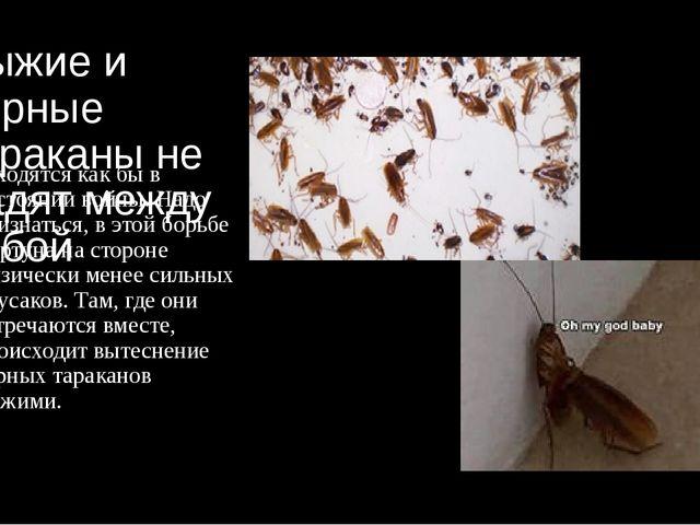 Рыжие и черные тараканы не ладят между собой находятся как бы в состоянии вой...