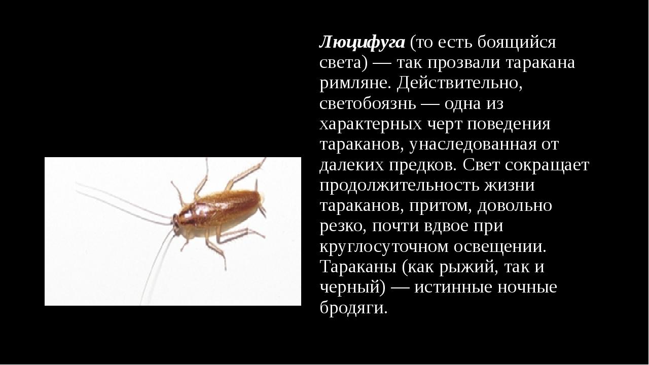 Люцифуга (то есть боящийся света)— так прозвали таракана римляне. Действите...