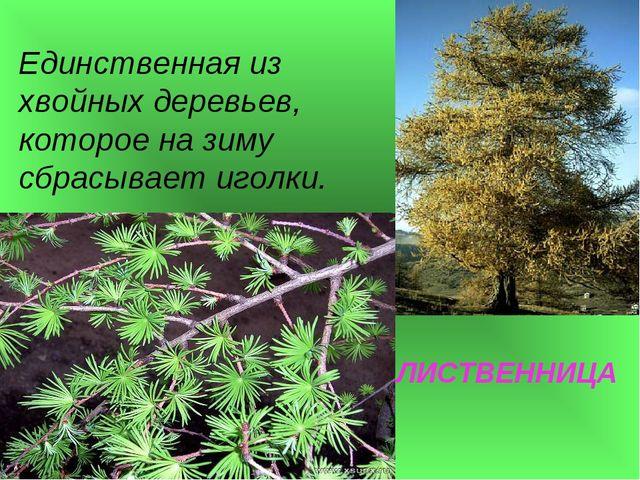 ЛИСТВЕННИЦА Единственная из хвойных деревьев, которое на зиму сбрасывает игол...