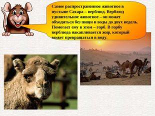 Самое распространенное животное в пустыне Сахара – верблюд. Верблюд удивитель