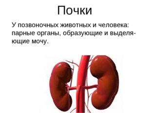 Почки У позвоночных животных и человека: парные органы, образующие и выделя-ю