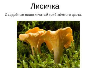 Лисичка Съедобные пластинчатый гриб жёлтого цвета.