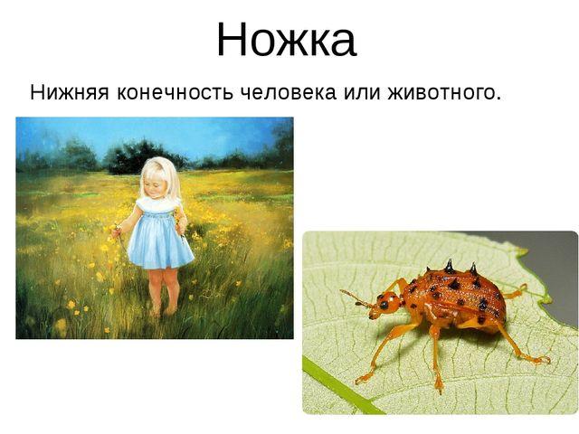 Ножка Нижняя конечность человека или животного.