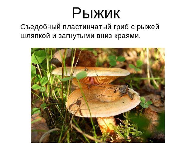Рыжик Съедобный пластинчатый гриб с рыжей шляпкой и загнутыми вниз краями.