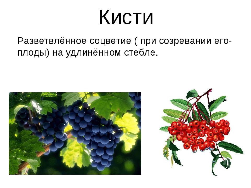 Кисти Разветвлённое соцветие ( при созревании его- плоды) на удлинённом стебле.