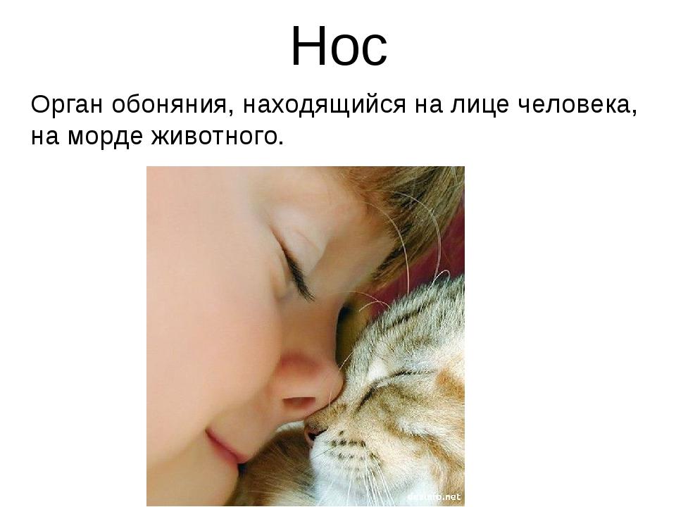 Нос Орган обоняния, находящийся на лице человека, на морде животного.