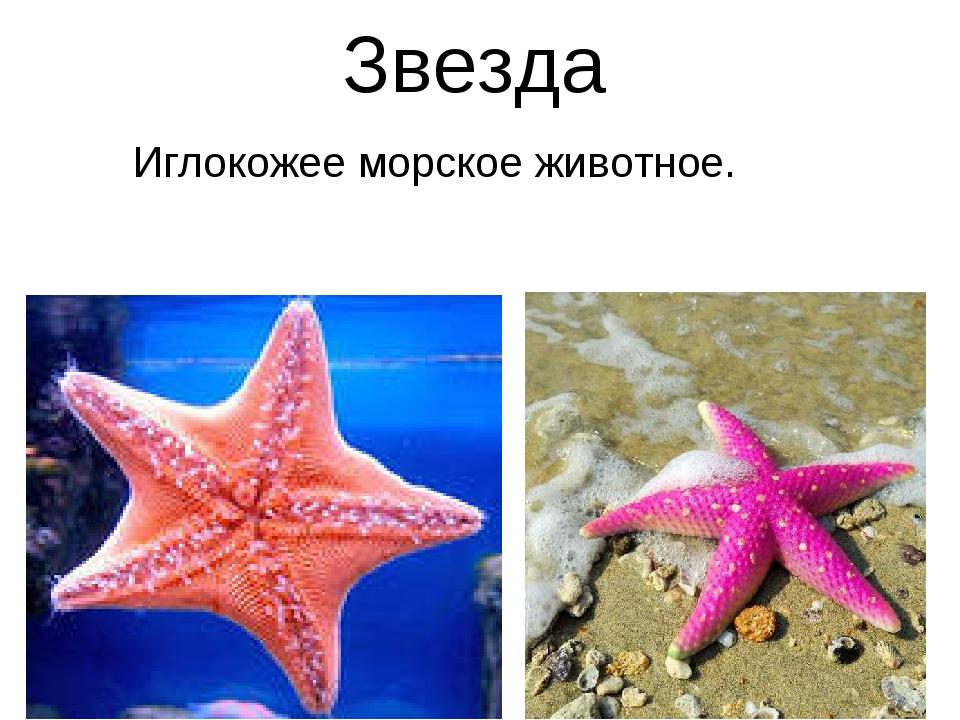 Звезда Иглокожее морское животное.
