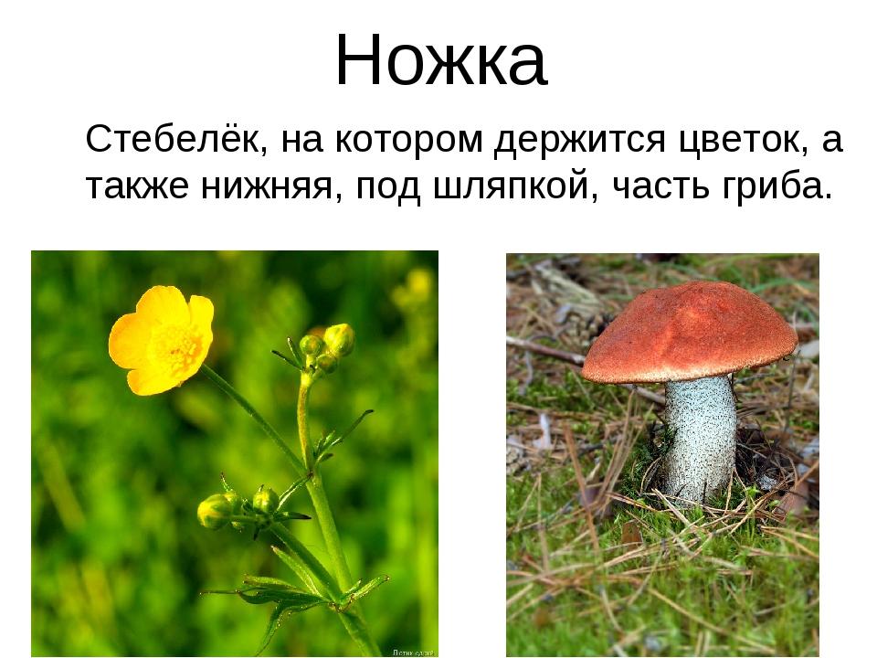 Ножка Стебелёк, на котором держится цветок, а также нижняя, под шляпкой, част...