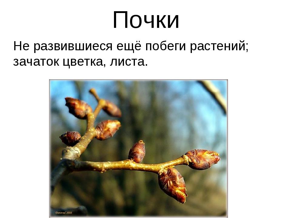 Почки Не развившиеся ещё побеги растений; зачаток цветка, листа.