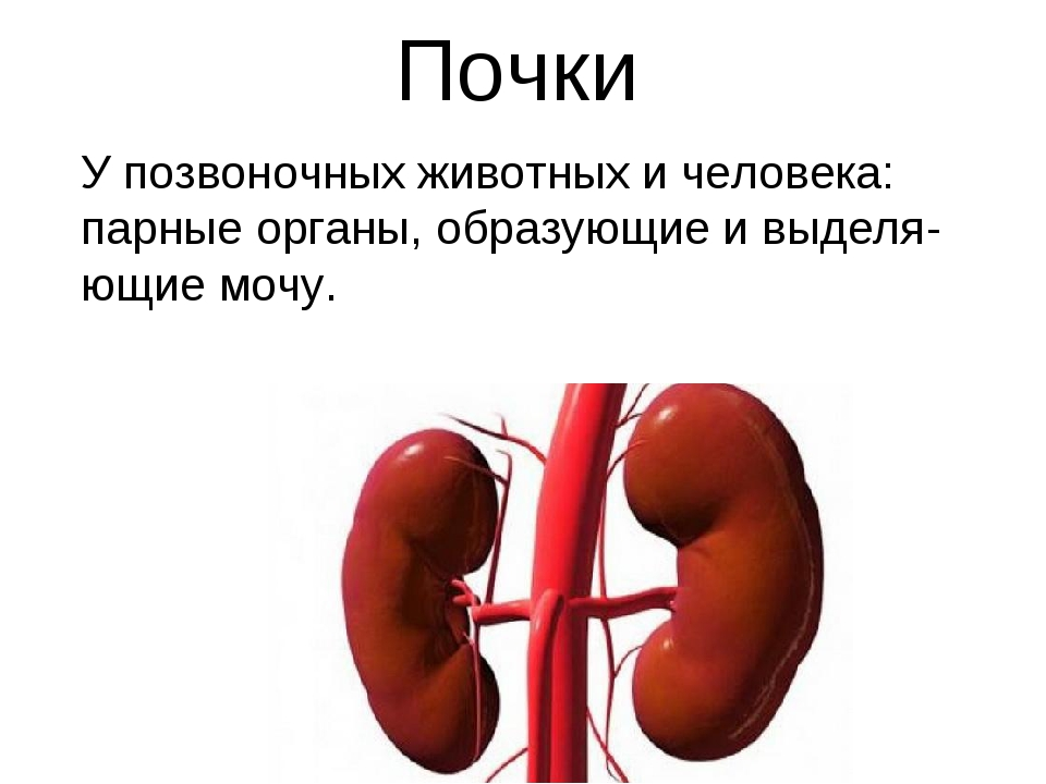 Почки У позвоночных животных и человека: парные органы, образующие и выделя-ю...