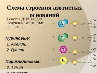 Схема строения азотистых оснований В состав ДНК входят следующие азотистые ос