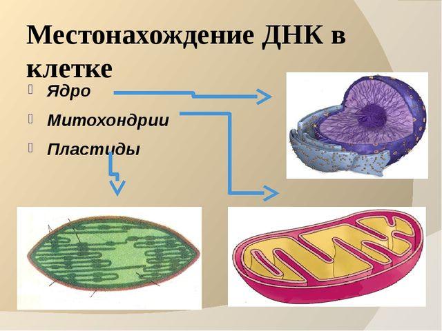 Местонахождение ДНК в клетке Ядро Митохондрии Пластиды